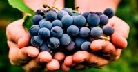 Se mangi uva ogni giorno, puoi dimagrire velocemente