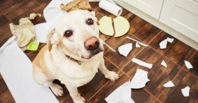 Massaggio ayurvedico per cani durante la pubertà per mitigare la fase di disobbedienza adolescenziale